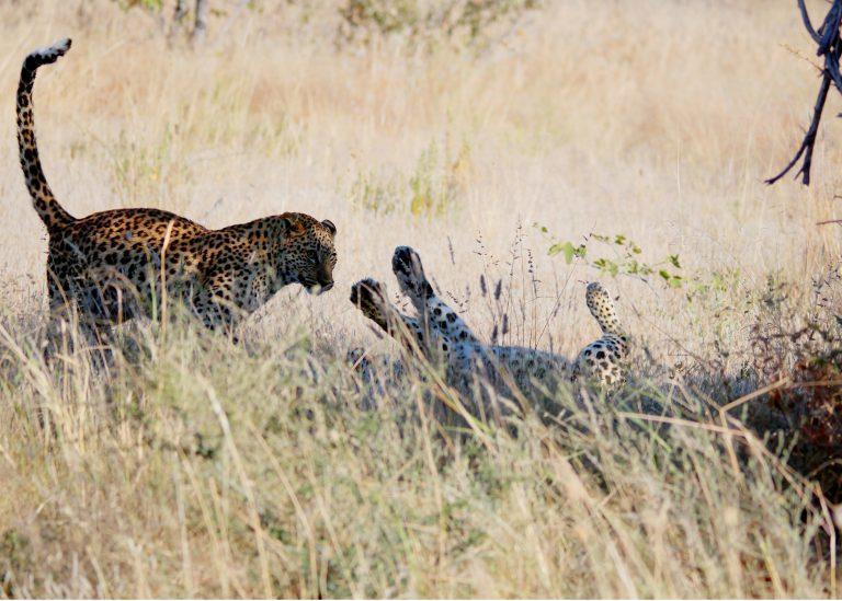 Leopards Mopane Village lodge Etosha National Park